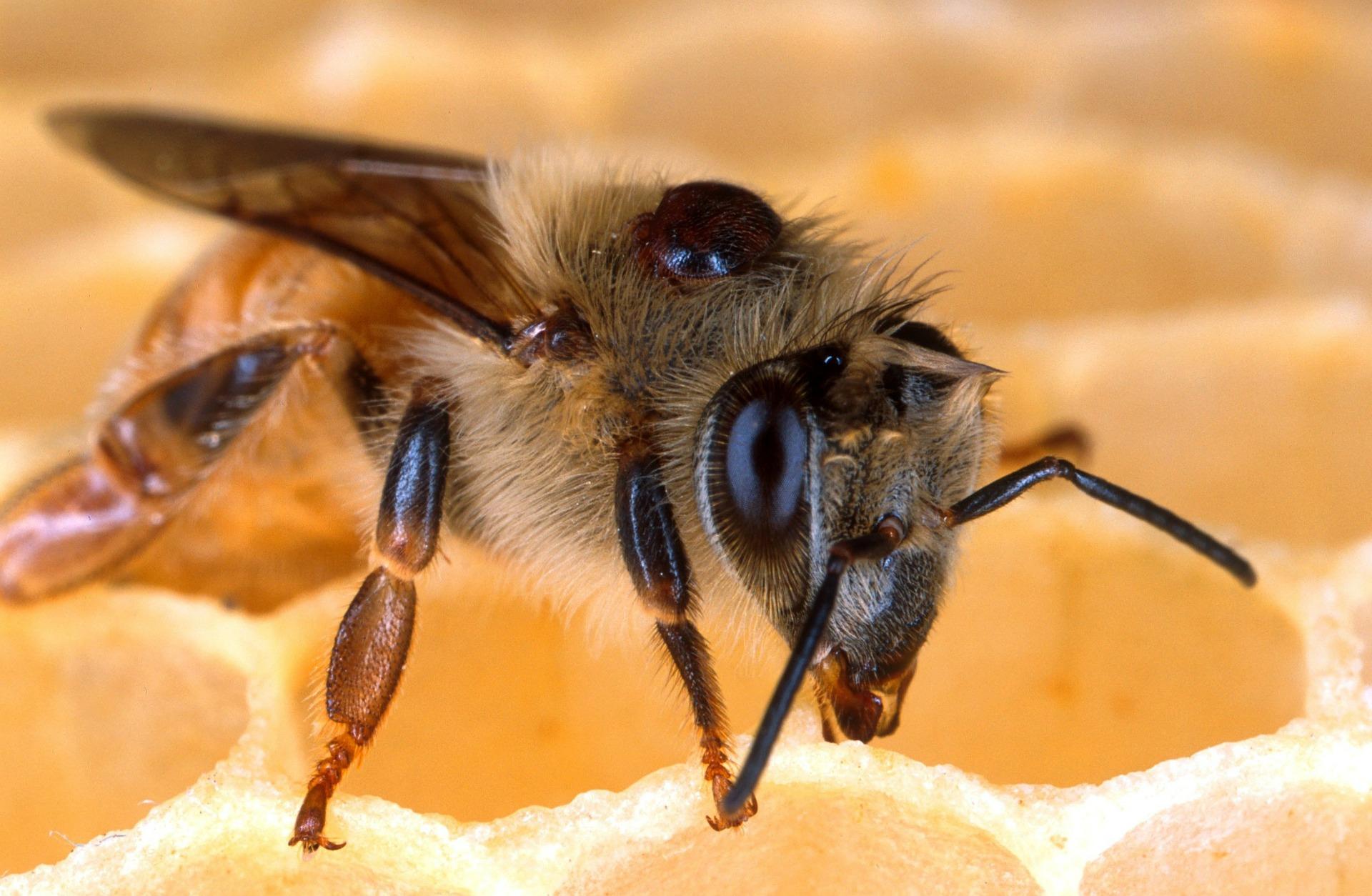 Bienenschädling Varroa Milbe
